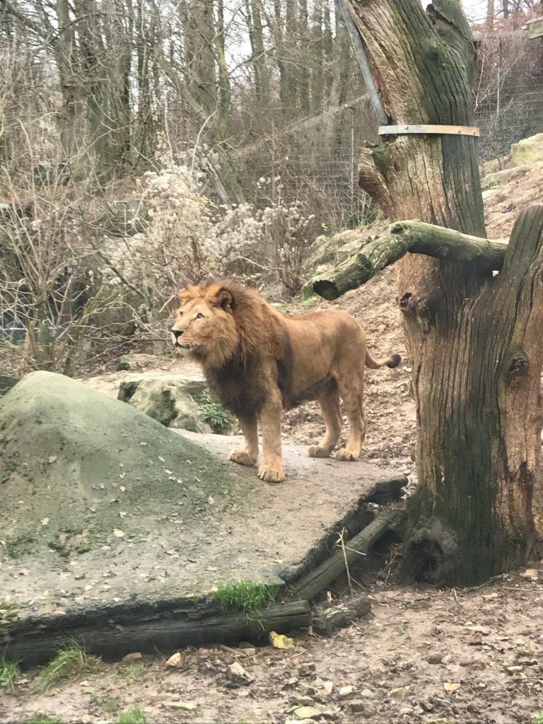 Zoo Osnabrück mit Kindern - Löwen