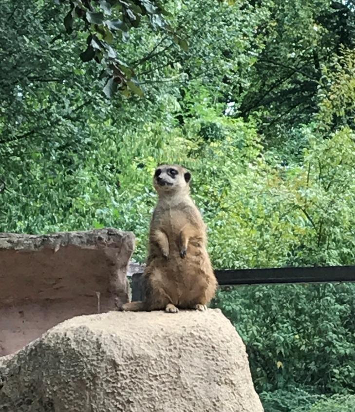 Zoo Osnabrück mit Kindern - Erdmännchen