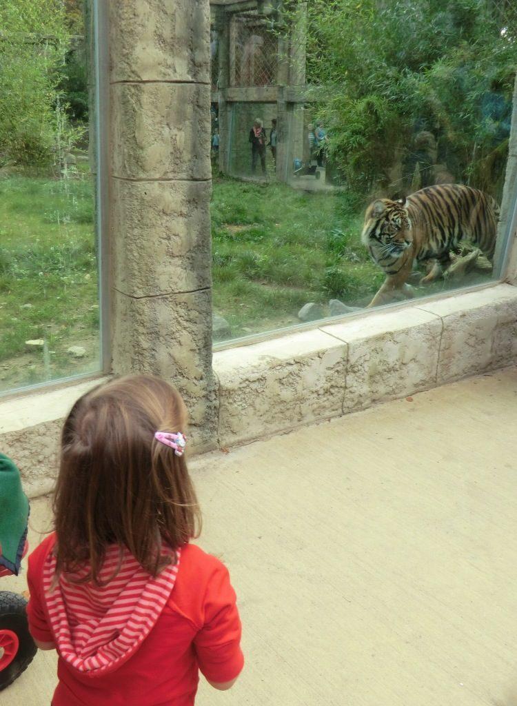Zoo Osnabrück mit Kindern - Tiger