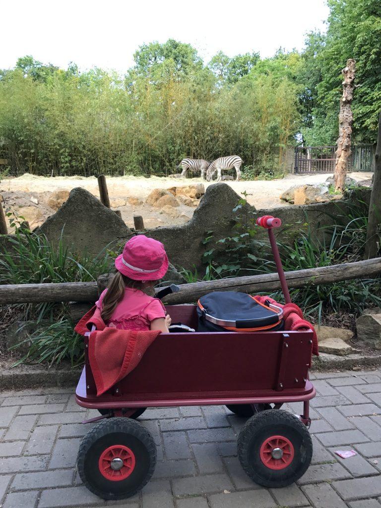 Zoo Osnabrück mit Kindern - Zebras