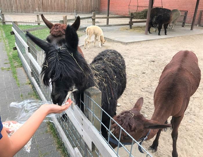 30am30 - 30 schöne Momente im August 2020 - Tierpark, Alpakas füttern