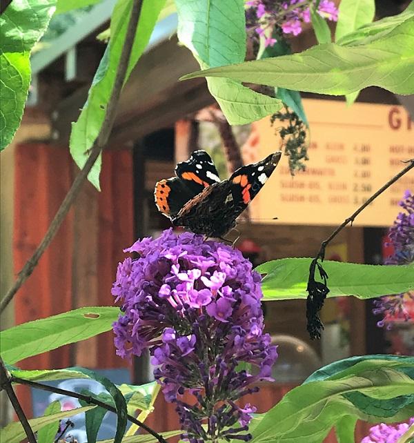 30am30 - 30 schöne Momente im September 2020 - Schmetterling auf Flieder