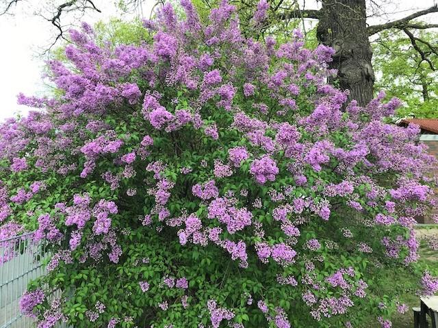 30am30 - 30 schöne Momente im Mai 2021 - Schmetterlingsflieder