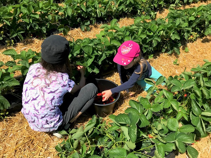 30am30 - 30 schöne Momente im Juni 2021 - Erdbeeren ernten